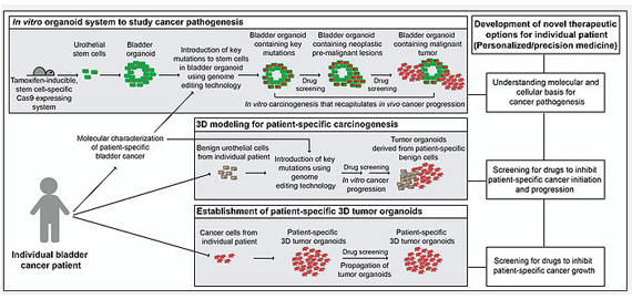 in vitro organoid system to study cancer pathogenesis