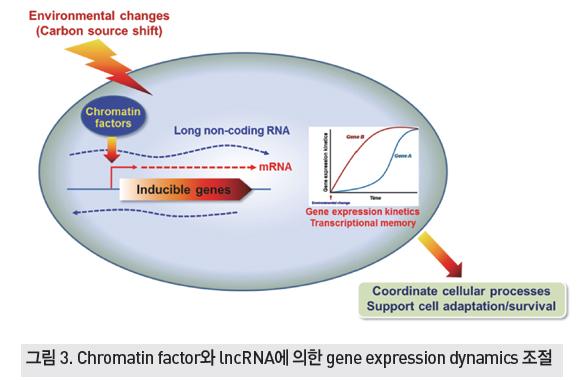 Chromatin factor와 lncRNA에 의한 gene expression dynamics 조절
