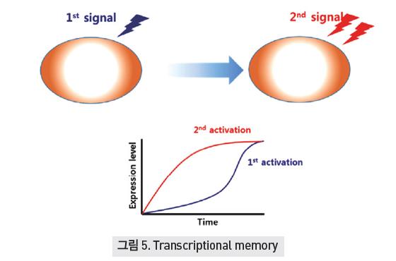 Transcriptional memory