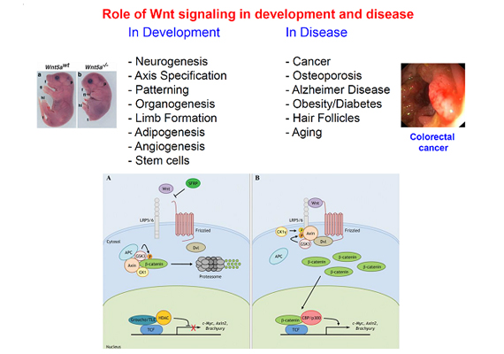 Role of Wnt signaling in development and disease