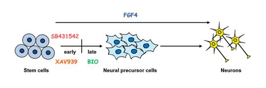 Small molecule을 이용한 줄기세포의 분화조절 연구