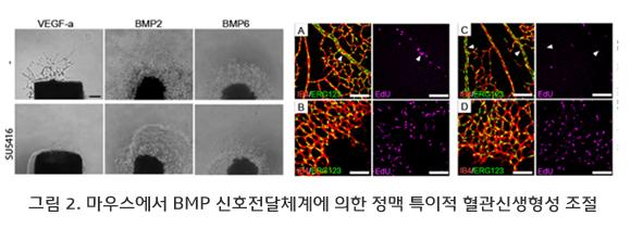 마우스에서 BMP 신호전달체계에 의한 정맥 특이적 혈관신생형성 조절