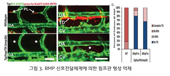 BMP 신호전달체계에 의한 림프관 형성 억제