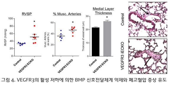 VEGFR3의 활성 저하에 의한 BMP 신호전달체계 억제와 폐고혈압 증상 유도