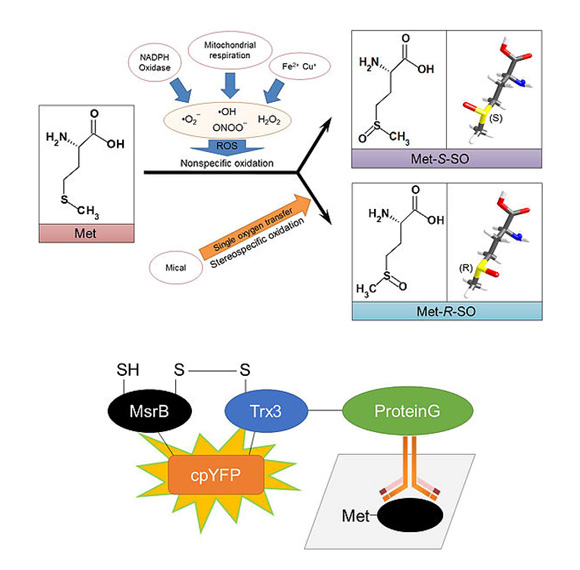 Biosensor for methionine oxidation