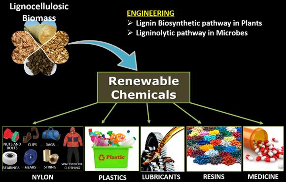 리그닌에 의한 세포벽 리모델링의 분자생물학적 메커니즘 규명