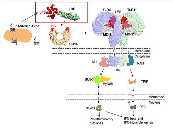 TLR (톨유사수용체) 활성화 메커니즘 연구