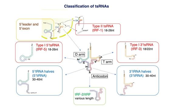 classification of tsRNAs