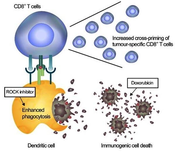 암세포만 잡아먹는 '면역세포' 활성화 치료전략 성공