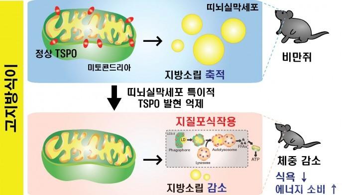 뇌 속 단백질 조절하면···식욕 줄고 에너지소비 늘고