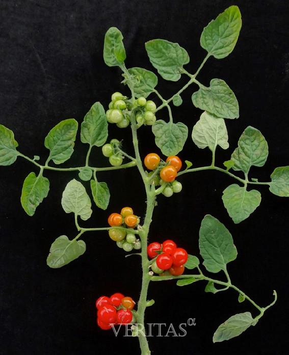 포도송이형 토마토 개발