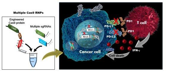 유전자 가위 개량해 여러 종양세포 동시 공격… 항암 치료 새 길 찾았다