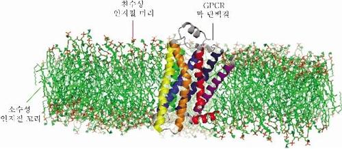 인간 막 단백질 접힘 경로 규명