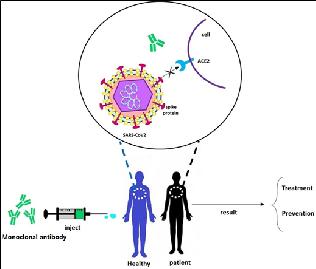 전 세계가 '리스크 높은 COVID-19 백신' 개발경쟁에 휩싸여 있는 가운데, 그에 못지않게 중요한 경쟁이 가열되고 있다. 그 내용인즉, 코로나바이러스에 대한 즉각적인 면역을 제공하는 표적지향 항체
