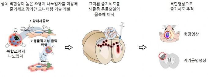 줄기세포 고감도 영상으로 추적하는 기술 개발