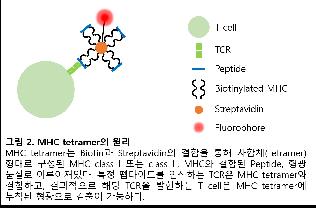 [후배에게 주고 싶은 면역학 연구 노트] #9_MHC tetra...