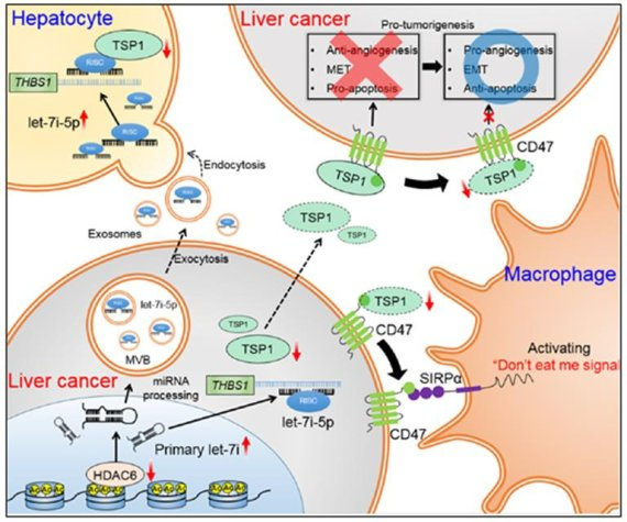 간암세포 억제 효과 및 종양 면역 활성화 기전 발견