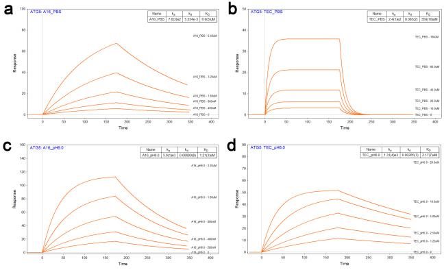 산성도 변화에 따른 ATG16L1과 TECPR1의 ATG5 결합 강도 변화