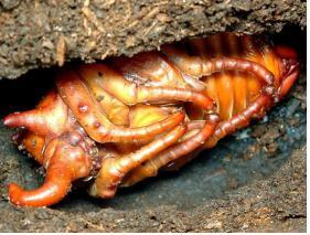 거대한 체격의 번데기와 성충