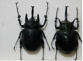 M. actaeon(왼쪽)와 M. mars