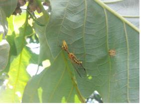 소형 곤충들의 천적 애사마귀붙이