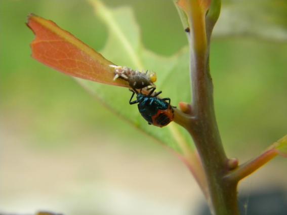 청띠제비나비 애벌레를 잡아먹는 침노린재류 애벌레