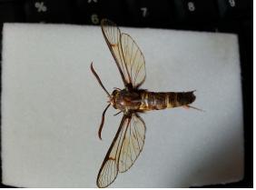 벌을 흉내내는 유리나방류