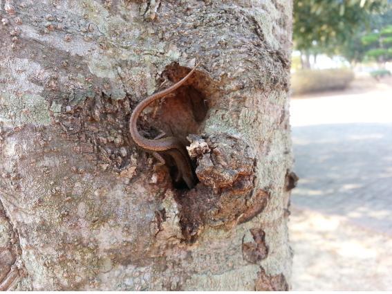 나무구멍에 숨은 거저리를 공격하는 도마뱀