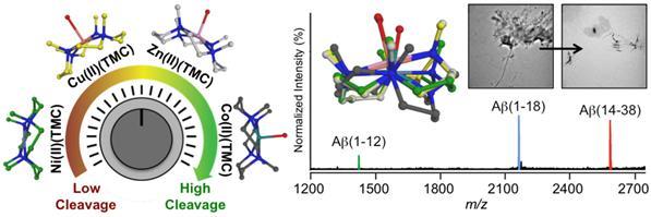중심원자의 종류에 따라 아밀로이드-베타 단백질의 가수분해 정도를 조절하는 금속 착물(M(II)(TMC))의 구조와 가장 효과적인 코발트 착물(Co(II)(TMC))에 의한 아밀로이드-베타 분해 결과.
