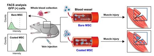 줄기세포를 쥐의 정맥에 주입하고 세포 생존능 및 표적화 효능 확인