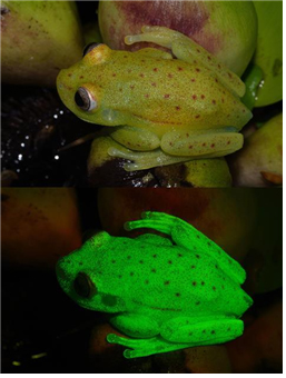 Before and after. The polka-dot tree frog in natural light (top) and under UV (bottom