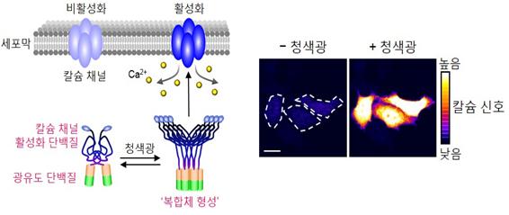 칼슘이온채널활성화(OptoSTIM1) 광유전학기술 설명도