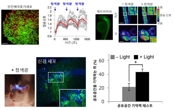 광유도 칼슘이온채널활성화 기술 인간배아줄기세포 및 제브라피쉬에 적용