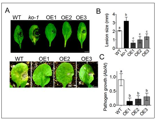ABCG34유전자를 과발현시킨 식물이 알터나리아라는 곰팡이균에 더 잘 저항하는 모습