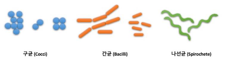 대표적인 미생물의 모양