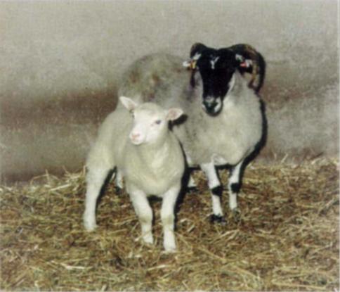 세계최초 복제 포유동물 Dolly와 얼굴과 머리 부분이 검은색의 Scottish black head 품종의 대리모