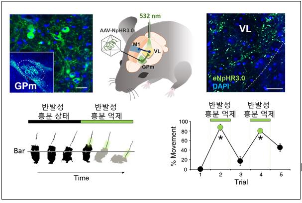 광유전학적 기법으로 파킨슨 증상회복 성공