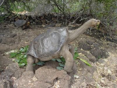 갈라파고스 거북이 외로운 '조지'