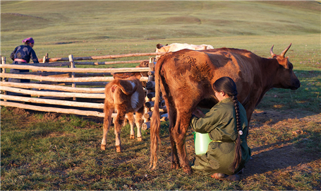 A woman milks a cow on the flat plains of Mongolia. People living here have ingested dairy products for millennia despite being lactose intolerant, a new study of ancient genes and proteins shows.