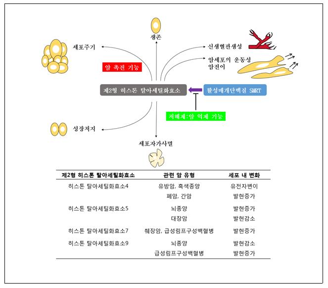 제2형 히스톤 탈아세틸화효소의 기능과 이와 관련하여 발생하는 암 유형