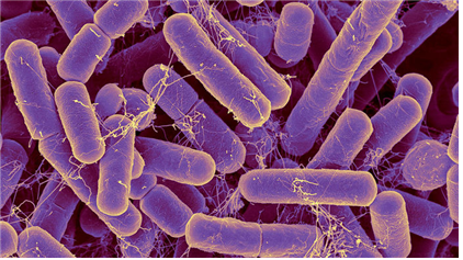 Bacteroides are the most common bacteria species found in the human intestinal tract