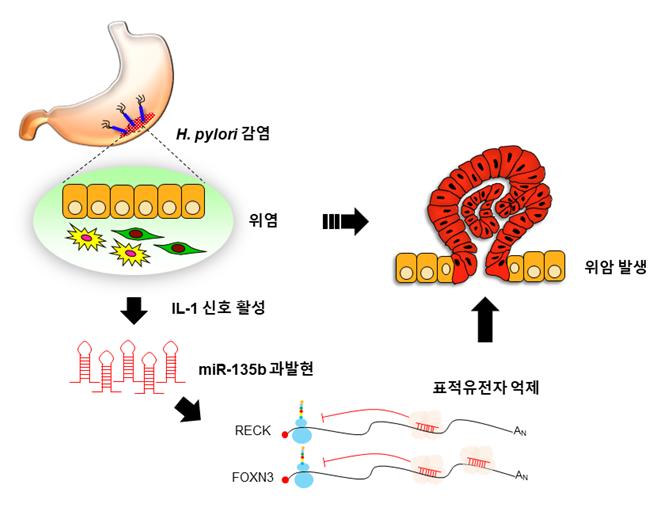 위염 ․ 위암 촉진하는 신규 유전자 찾았다