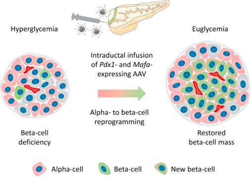 [바이오토픽] 췌장의 가소성: 역분화된 알파세포 → 인슐린 생성
