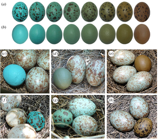 Even though foreign blue and brownish speckled eggs don't match the mockingbird's own blue-green spotted egg, they still tended to be accepted by the parent bird