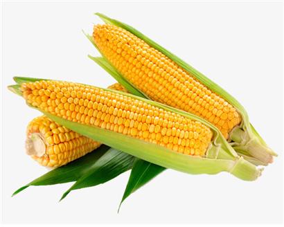 유전체편집기인 CRISPR는 많은 생물학 분야들을 완전히 바꿔 놓았다. 그러나 이 도구를 이용하여 밀이나 옥수수와 같은 농작물의 특정 품종들을 개량한다는 것은 여전히 어려운 과제로 남...