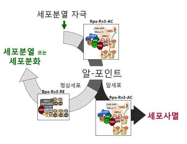 알-포인트에서 세포분열과 세포사멸을 결정하는 분자적 기전