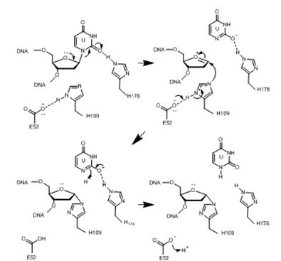 돌연변이 DNA를 복구하는 신규 단백질 효소의 기능 규명