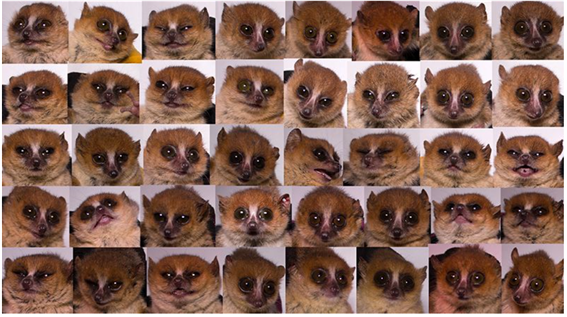 These mouse lemur mugshots help scientists to track some physical traits, but also reflect the animals' unique personalities