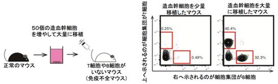 생쥐의 골수에서 조혈모세포를 50개 추출한 후, PVA를 이용해 배양하여 대량으로 증식한 조혈모세포를 면역결핍(T 세포와 B 세포가 결핍된) 마우스에 투여하니, T 세포와 B 세포가 조기(早期)에 분화하여 면역결핍 증상이 완치되었다