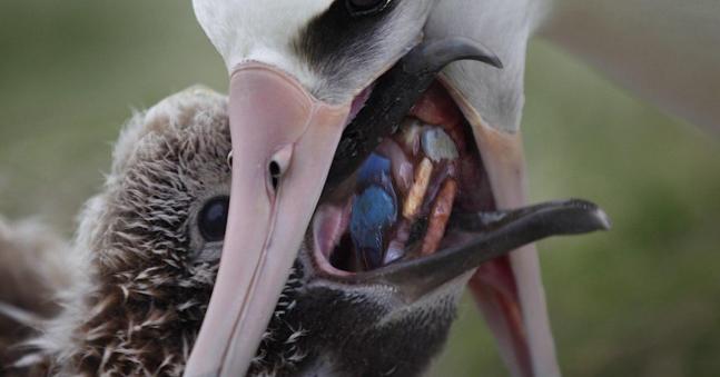 북태평양 섬의 알바트로스 어미새가 플라스틱 오물을 새끼에게 먹이고 새끼의 죽음을 바라보는 결과를 초래하였다